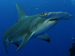 Кархаринообразная акула плывет