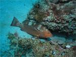 Рыба-групер