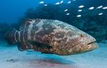 Рыба-групер плывет