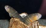 Маслюковая рыба