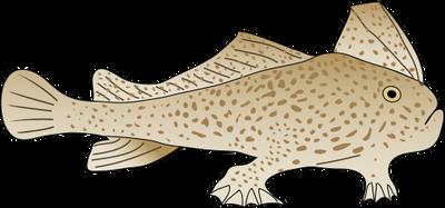 Круглая рыба-лопата фото