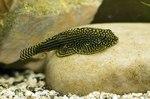 Балиториевая рыба в аквариуме