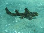 Бычья акула на песке