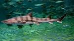 Кунья акула