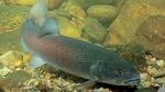 Дунайский лосось на камнях