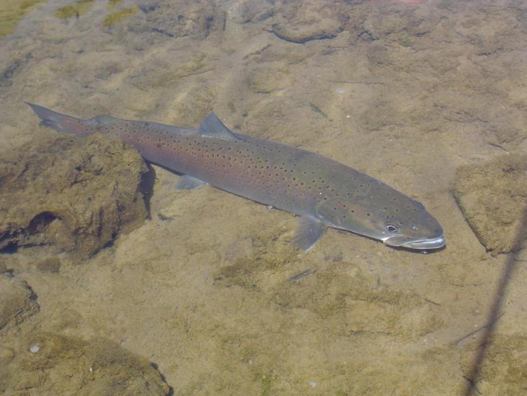 Дунайский лосось фото