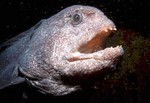 Интересная Американская тихоокеанская зубатка