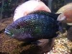 Рыбка гнездо Демпси