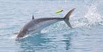 Королевская рыба в прыжке