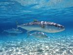 Королевская рыба под водой