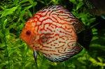 Лабиринтовая рыба плывет