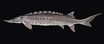 Рыба Лагена
