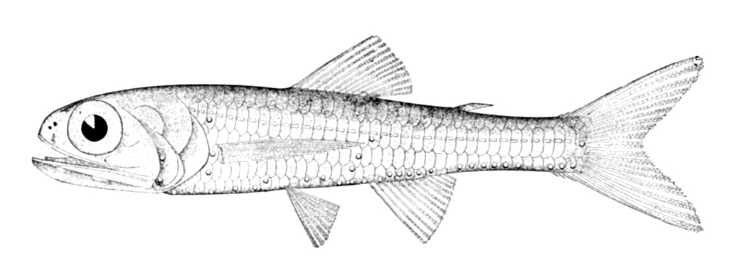 Рыба-лампа фото