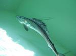 Зубатка (рыба)