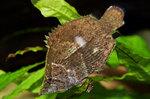 Рыба- листок плывет