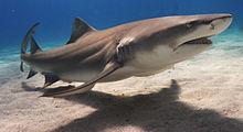 Лимонная акула фото