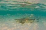 Лимонная акула спит