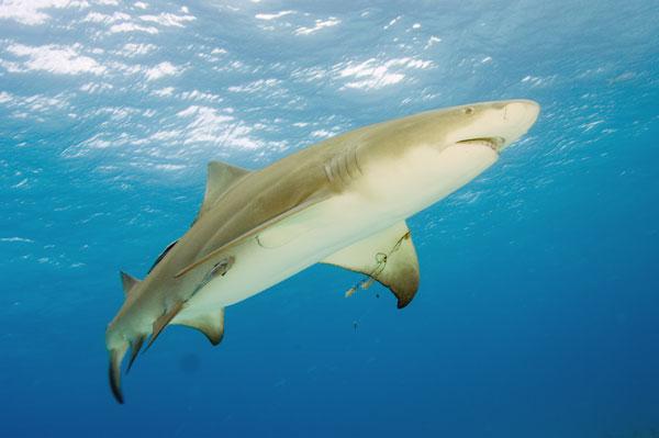 Лимонная акула под водой - фото и обои. Красивая картинка ... Латимерия