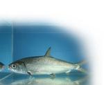 Живая Ханос (рыба)