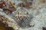 Ящероголовая рыба плывет
