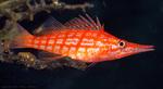 Длинная рыба-ястреб