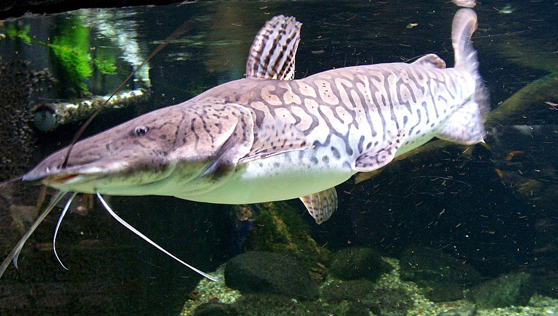 long-whiskered-catfish-photo.jpg