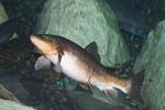 Длинноносая рыба-присоска плывет