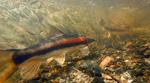 Длинноносая присоска под водой