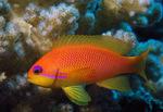 Рыбка Луретаила