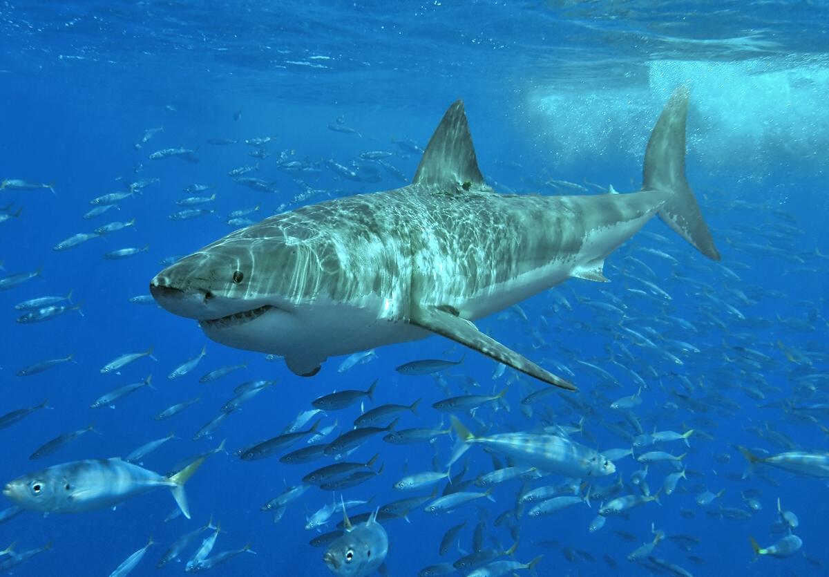 Ламновая акула фото