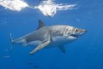 Ламнообразная акула