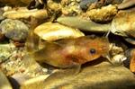 Рыба мадтом на камнях