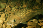 Рыба барбус на камнях
