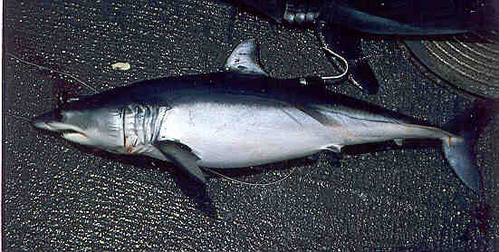 Акула-мако фото