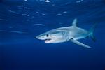 Акула мако под водой