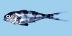 Рыба человека войны