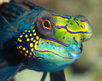 mandarin-fish-face-pic