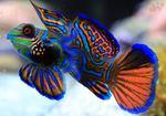 Мандариновая рыба плывет