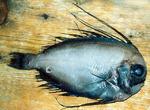 Каристовая рыба на доске