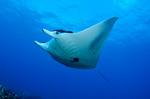 Манта луч под водой