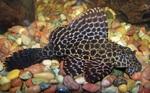 Мраморная рыба Плеко