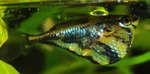 Мраморная рыба в аквариуме
