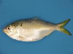 Рыба менхаден