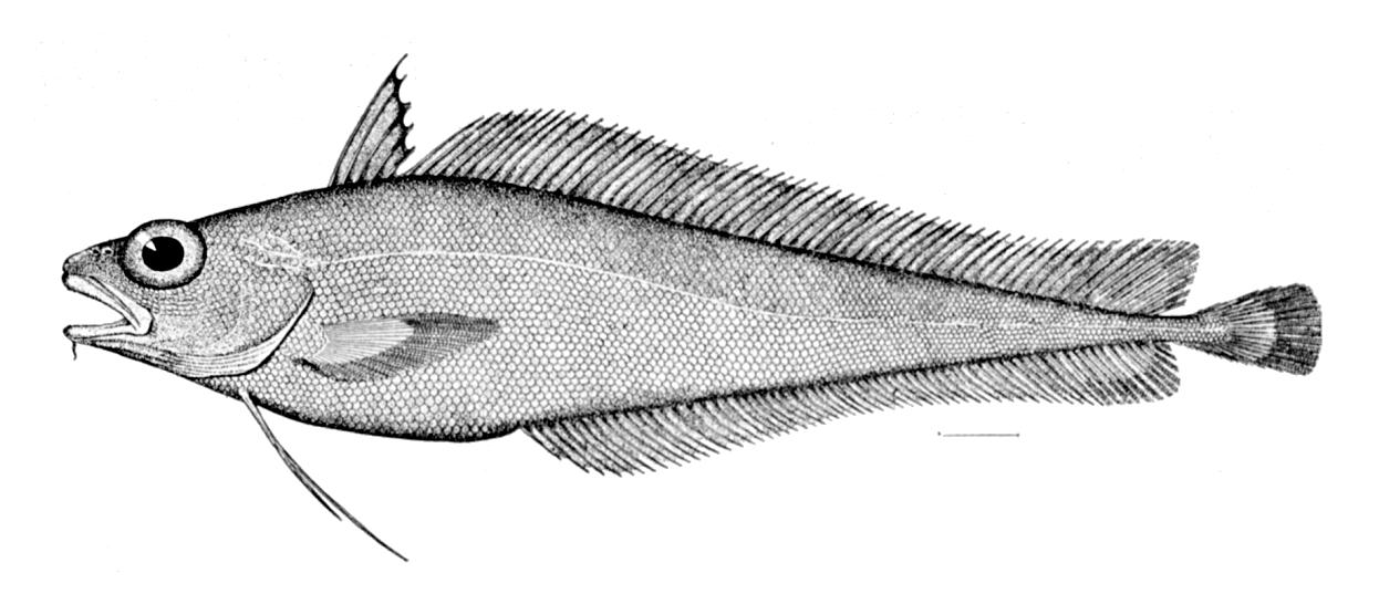 Моровая рыба фото