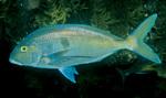 Морвонговая рыба плывет