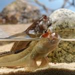Попрыгунчик-бычек в аквариуме