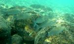 Кефаль рыбы плывут