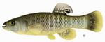 Рыба мумичег