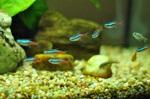 Голубой неон рыбы в аквариуме