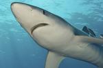 Красивая голубая акула